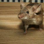 Cum am reușit să scap de șoareci în doar două săptămâni